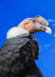 Andean Condor, Venezuela Royalty Free Stock Photos