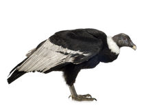 Andean Condor - Vultur gryphus (15 years) Stock Photos