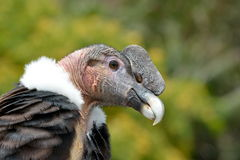 Andean Condor (Vultur gryphus) close-up portrait Royalty Free Stock Images