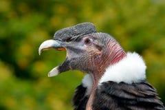 Andean Condor (Vultur gryphus) Royalty Free Stock Photo