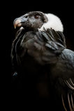 The Andean Condor (Vultur gryphus) Stock Images