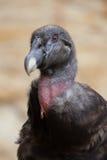 Andean condor. (Vultur gryphus). Wildlife animal royalty free stock photos