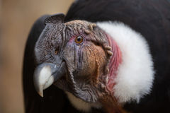 Andean condor Vultur gryphus. Royalty Free Stock Photography