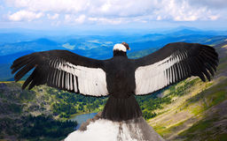 Andean condor  in wildness area. Andean condor (Vultur gryphus)  in wildness area Stock Photo