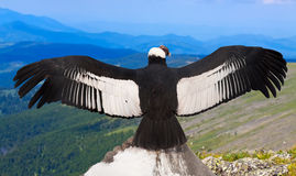 Andean condor  in wildness area. Andean condor (Vultur gryphus)  in wildness area Royalty Free Stock Photo
