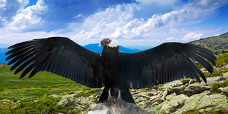 Andean condor   in wildness. Andean condor (Vultur gryphus)  in wildness area Stock Images