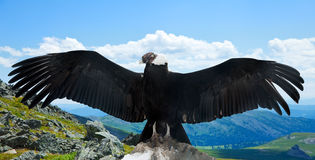 Andean condor  in wildness. Andean condor Vultur gryphus  in wildness area Royalty Free Stock Image