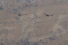 Andean Condors - Chile Royalty Free Stock Photography