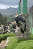Andean Condors Stock Images