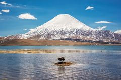 Andean coots on Chungara lake, Parinacota volcano Chile. Andean coots on Chungara lake, Parinacota volcano, Chile royalty free stock photography