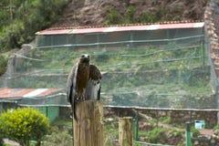 Andean Eagle Royaltyfri Bild