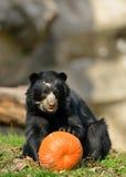 Andean eller Spectacled björn Royaltyfri Fotografi
