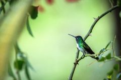 Andean emeral sitting on branch, hummingbird from tropical forest,Peru,bird perching,tiny beautiful bird resting on flower in gard. En,clear background with royalty free stock images