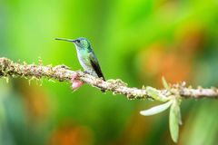 Andean emeral sitting on branch, hummingbird from tropical forest,Peru,bird perching,tiny beautiful bird resting on flower. In garden,clear background with royalty free stock image