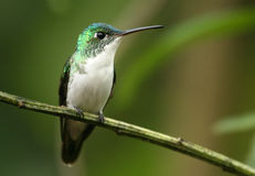 Andean Emerald. An Andeam Emerald (hummingbird) at Tandayapa Bird Lodge in the Andes of Ecuador Royalty Free Stock Photos