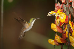 Andean Emerald 2. Hovering in front of a hanging bunch of flowers in Ecuador Stock Photo