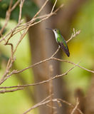 Andean Emerald Hummingbird Royalty Free Stock Image