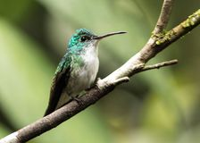 Andean Emerald Hummingbird, Amazilia franciae Royalty Free Stock Photo