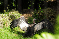 andean fågelcondor Royaltyfri Bild
