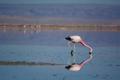 Andean flamingo som söker efter föda på den Chaxa lagun Nationell reserv för Los-flamenco chile Royaltyfri Foto