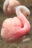 Andean flamingo Stock Photos