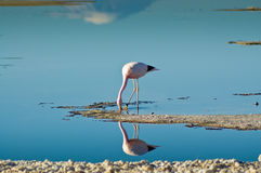 Andean Flamingos (Phoenicoparrus andinus) Royalty Free Stock Photography
