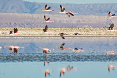 Andean Flamingos (Phoenicoparrus andinus) Royalty Free Stock Photos