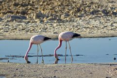 Andean Flamingos (Phoenicoparrus andinus) Royalty Free Stock Photo