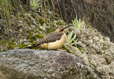 Andean Flicker, Colaptes rupicola,Peru. A woodpecker bird of the high Andes perching on a rock in Penas, Peru Stock Photos