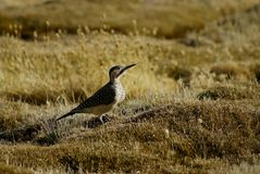 Andean flicker in portrait Stock Image