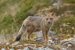 Andean Fox on a Coastal Beach Stock Photography