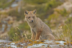 Andean Fox Looking for Prey Stock Image