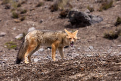 Andean Fox (Lycalopex culpaeus) Royalty Free Stock Photography