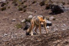 Andean Fox (Lycalopex culpaeus) Stock Image