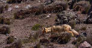 Andean Fox (Lycalopex culpaeus) Royalty Free Stock Photo