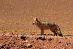 Andean fox, lycalopex culpaeus, also known as zorro culpeo. Atacama desert, Chile Royalty Free Stock Image