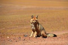 Andean fox, lycalopex culpaeus, also known as zorro culpeo. Atacama desert, Chile Stock Photos