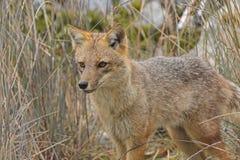 Andean Fox Moving Through the Grass Stock Photos
