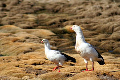 Two Andean geese. Andean geese photographed in the Altiplano, Lauca National Park, Chile Royalty Free Stock Photography