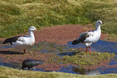 Andean Geese on the  Altiplano of Northern Chile Royalty Free Stock Image