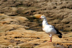 White Andean goose. Andean goose photographed in the Altiplano, Lauca National Park, Chile Stock Image