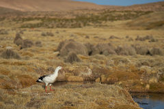 Andean Goose on the Altiplano Stock Photos