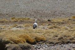 Andean goose (Chloephaga melanoptera). Andean goose at Chilean altiplano, Lauca National Park Royalty Free Stock Image