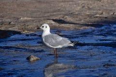 Andean gull (Chroicocephalus serranus) feeding in a stream of wa. Ter Stock Image