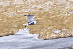 Andean gull (Chroicocephalus serranus). Flying over an icy lake in Atacama desert, Chile Stock Image