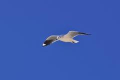 Andean gull (Chroicocephalus serranus). Flying over an icy lake in Atacama desert, Chile Royalty Free Stock Image