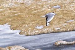 Andean gull (Chroicocephalus serranus). Flying over an icy lake in Atacama desert, Chile Stock Photography