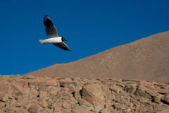 Andean Gull in Flight 4 Stock Photo
