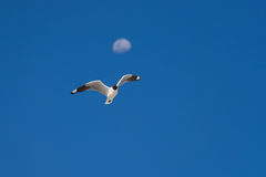 Andean Gull flying against blue sky and defocused moon Stock Photography