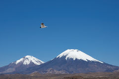 Andean Gull. (Gaviota andina) flying in the clear blue sky of the altiplano in Lauca National Park, northern Chile. Snow and ice covered peaks of the volcanoes Stock Photos